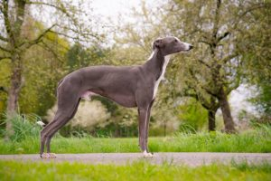 Blue Baron of lordly essence - Whippet