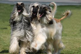 Afghanische Windhunde