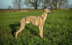Alistair of lordly essence - Whippet