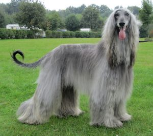 Celestian Arthur - Afghanischer Windhund