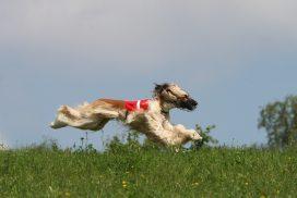 Afghanischer Windhund