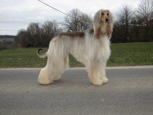 Ventus von der Irminsul - Afghanischer Windhund