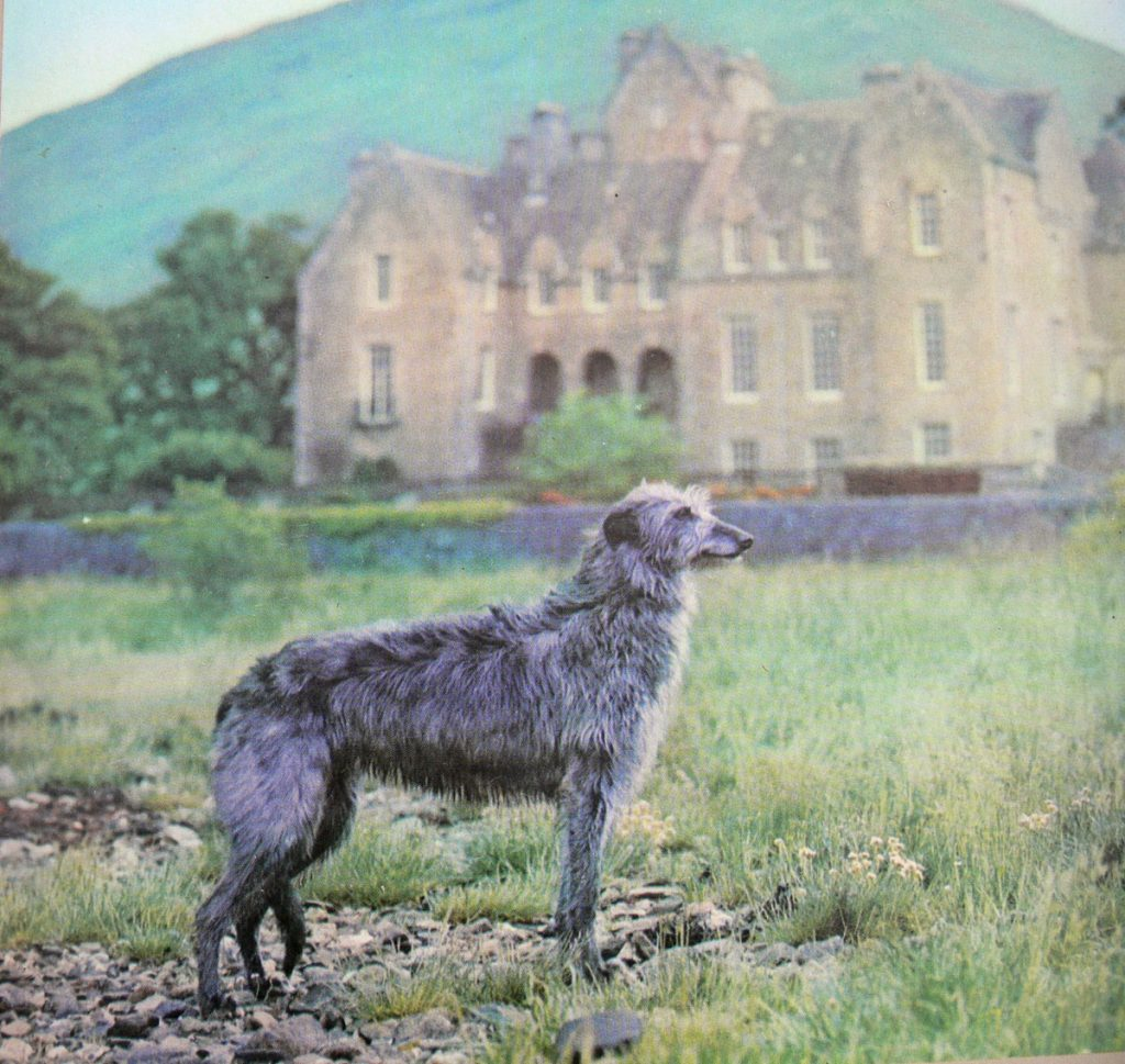 Deerhound Aurora