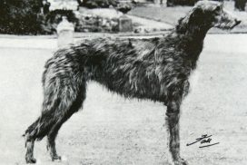 Deerhound Betsinda