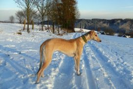 Chart Polski stehend im Schnee Annette Nickau