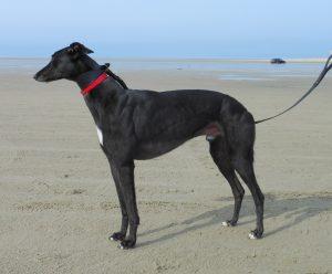 Cashen Shatana - Greyhound