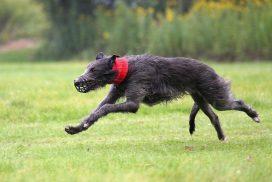 Deerhound beim Coursing