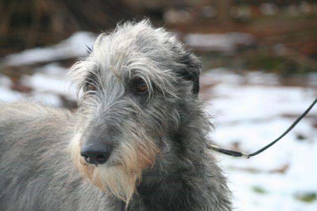 Deerhound Kopfportrait
