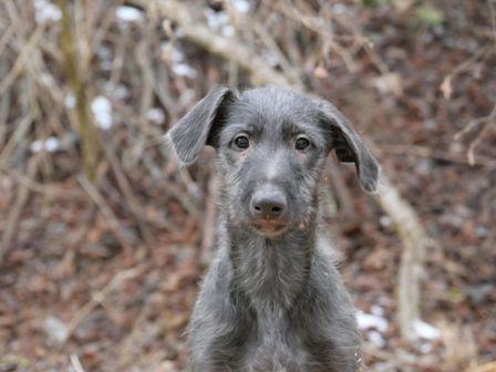 Deerhound Welpe