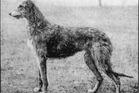 Deerhound Fatima