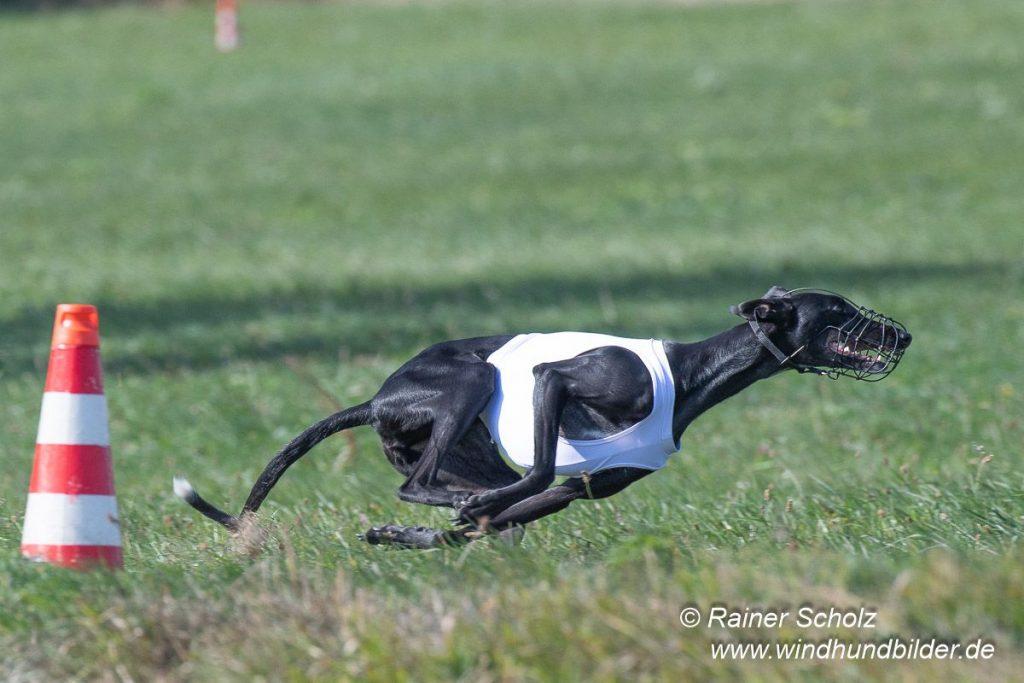 Galgo Espanol Coursing Heidi
