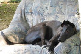 Greyhound im Sessel
