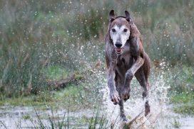 Greyhound im Freilauf