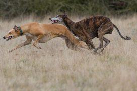 Greyhounds im Freilauf