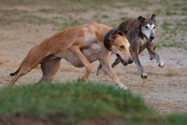 Greyhounds im Freilauf Copyright: Jürgen Bürger