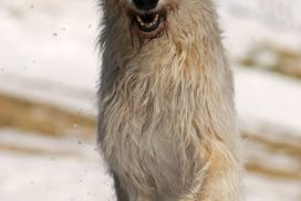 Irish Wolfhlund