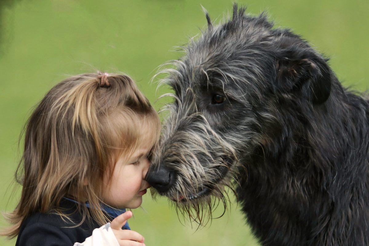 Weitere Infos Irish Wolfhound