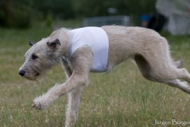 Irish Wolfhound beim Coursing