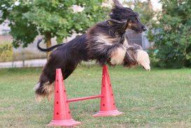 Afghanischer Windhund springt