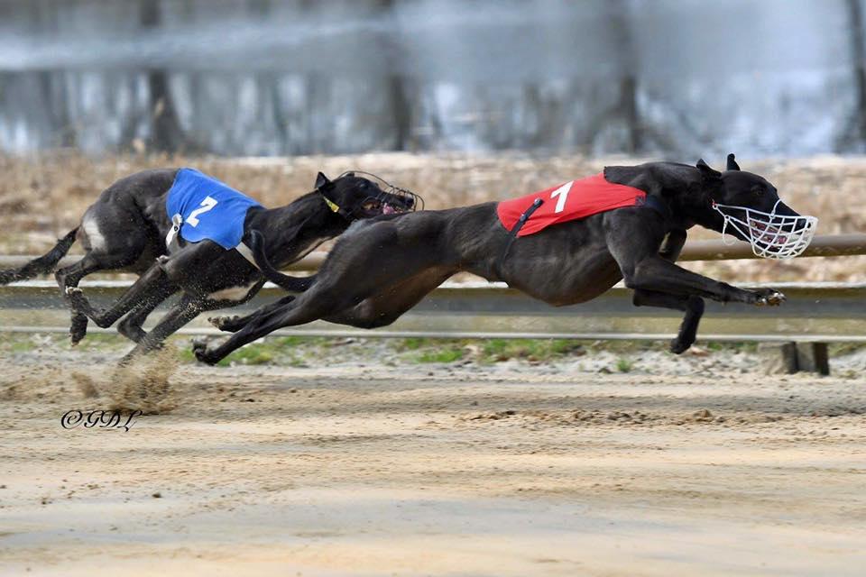Greyhound Olympia Geldrop