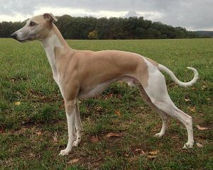One and only vom Lorenzer Reichswald - Whippet