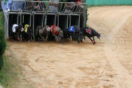 Rennen Greyhound Grasbahn