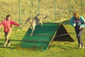 Deerhound beim Turnierhundesport