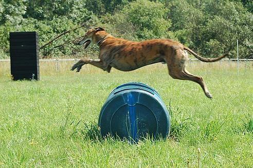Galgo beim Turnierhundesport