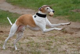 Whippet Loriot mit Ball