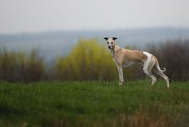 Whippet Mono Stand