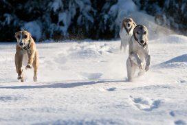 Whippets im Schnee