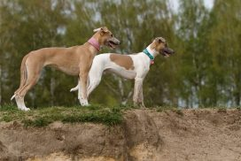 junge Whippets