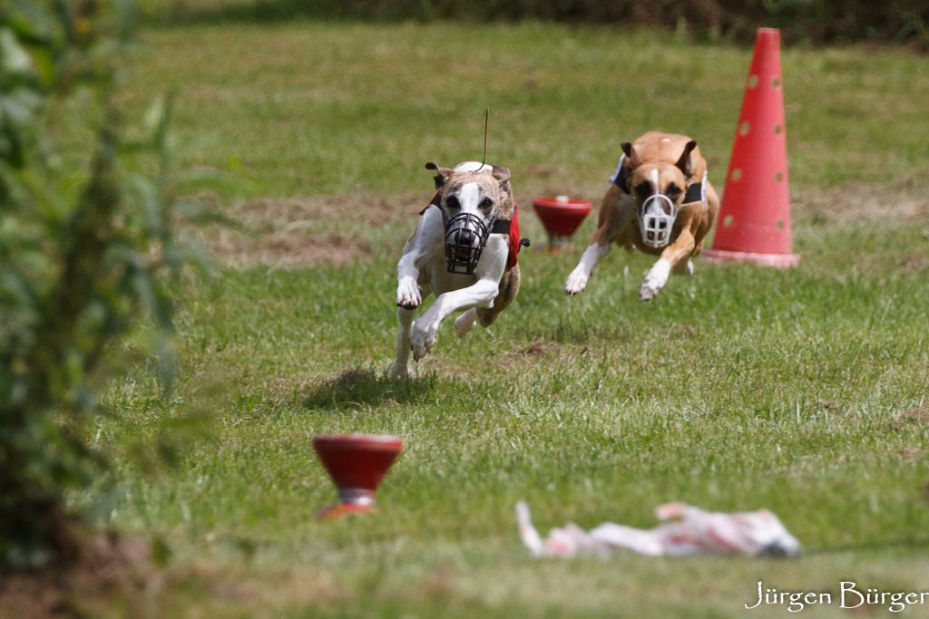 Whippets beim Coursing