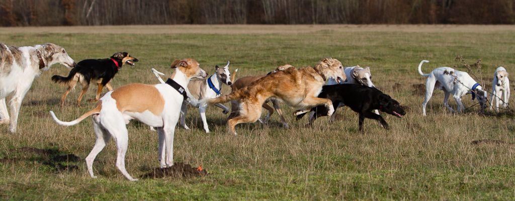 Windhunde im Freilauf