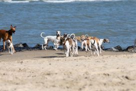 Whippets am Meer