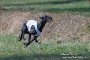 Galgo Espanol Coursing