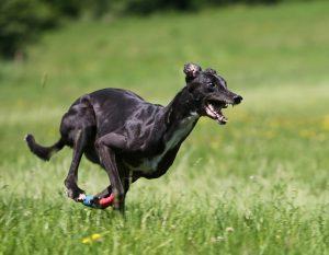 Greyhound Freilauf