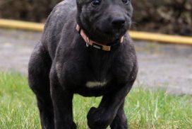 Greyhound Welpe
