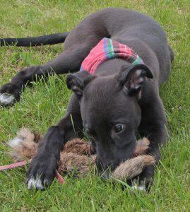 Training Junghund